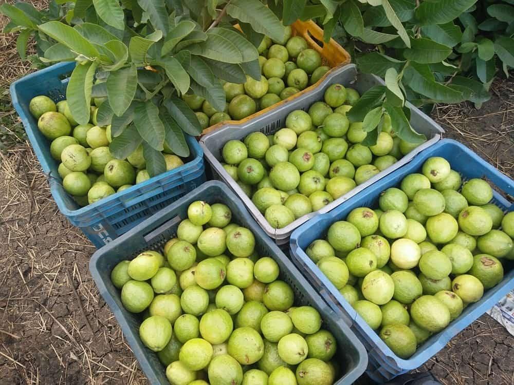 Thinpo - Filipin Efsanesine Konu Olan Guava Meyvesinin Özellikleri